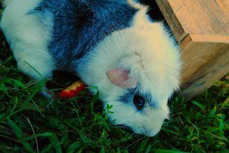 Guinea Pig. Bam