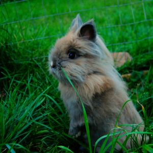 Lion Head Rabbit. Charlie