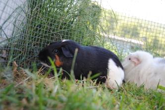 Guinea Pig. Orbit