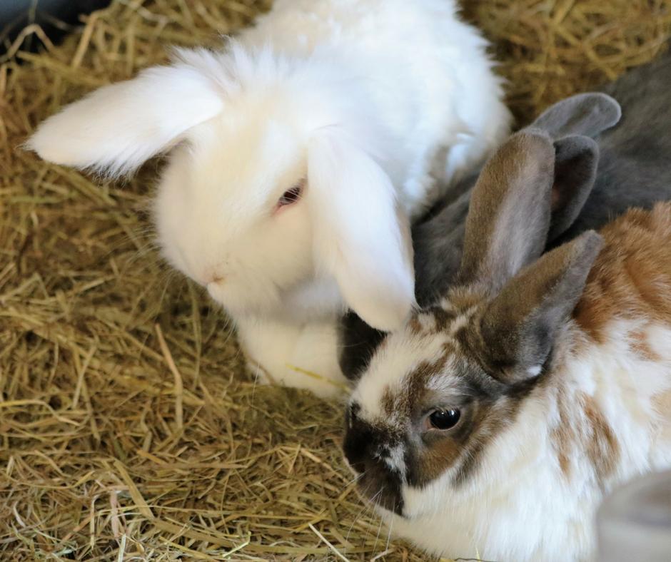 How to Bond Rabbits (1)