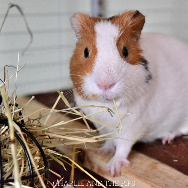 Tips for Cleaning Fleece Bedding for Guinea Pigs